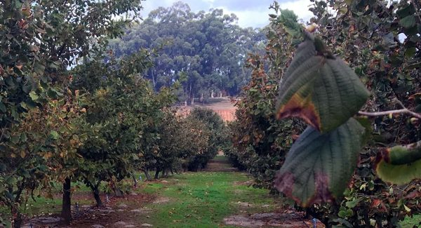 Millgrove Truffles Orchard