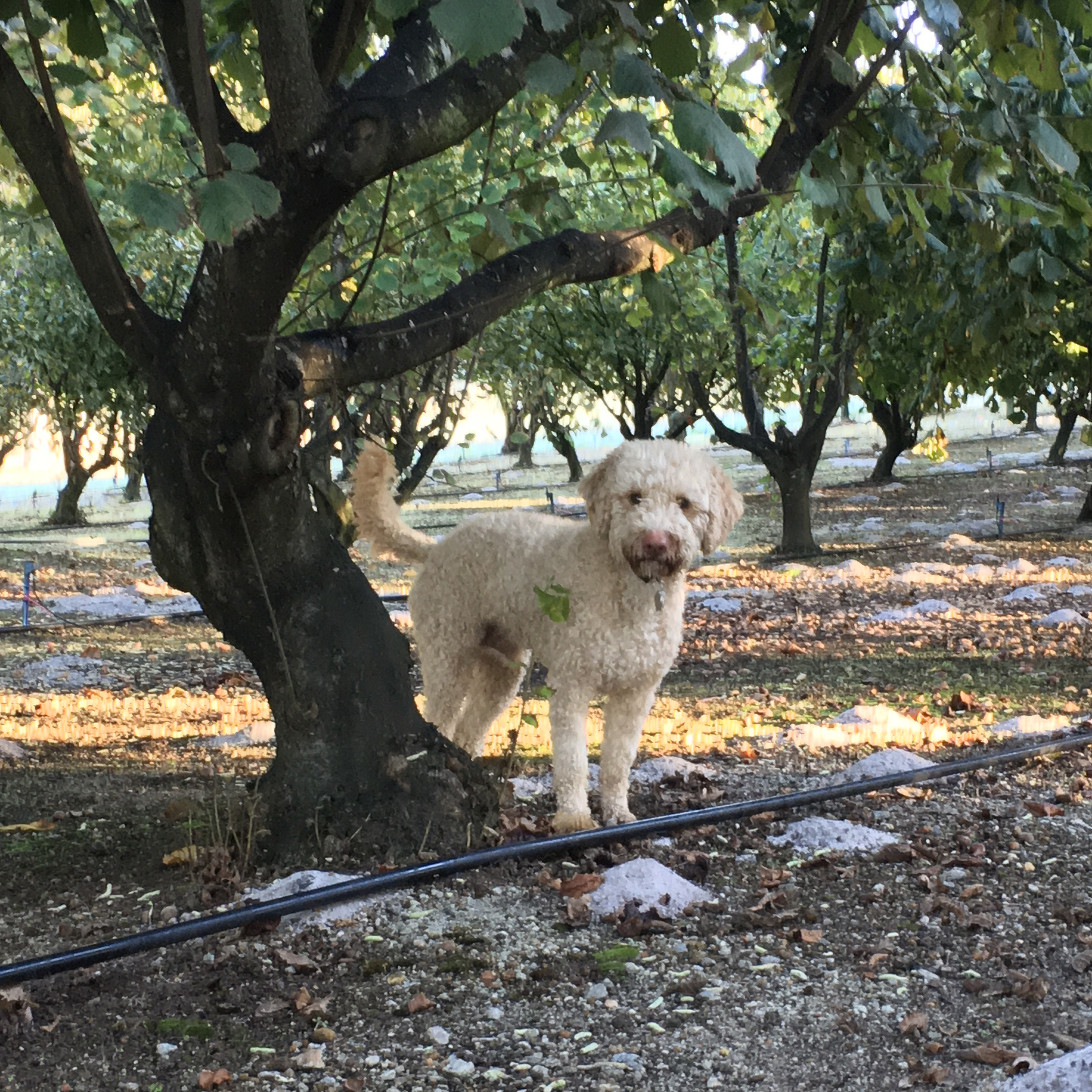 Solly under the trees Millgrove Truffles
