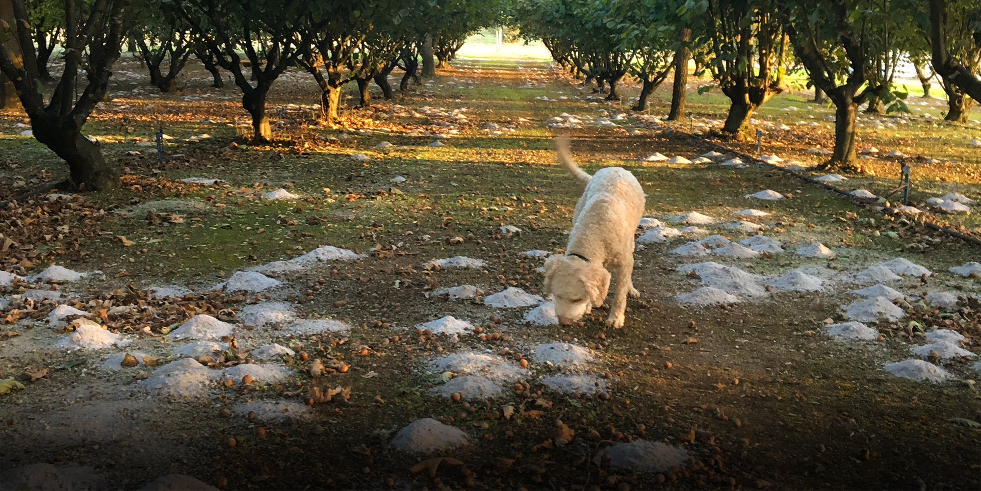 Millgrove truffle dog Solly in action